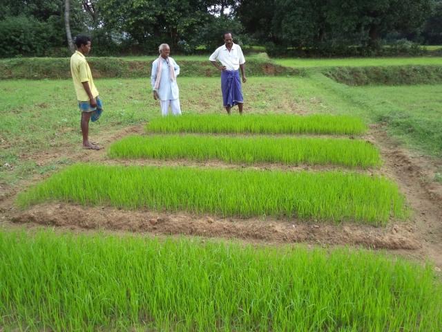 Indranath Singh at a rice nursery - Copy
