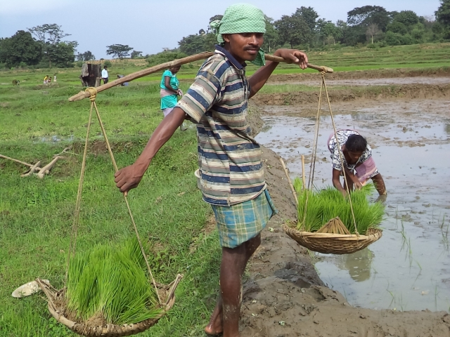 Pusa Kongadi carrying paddy seedlings for transplanting from the nursery